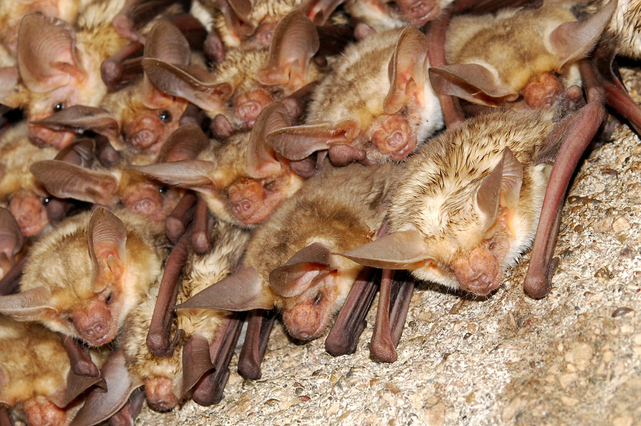 Gorgeous Wildlife Webinar Series: Bats