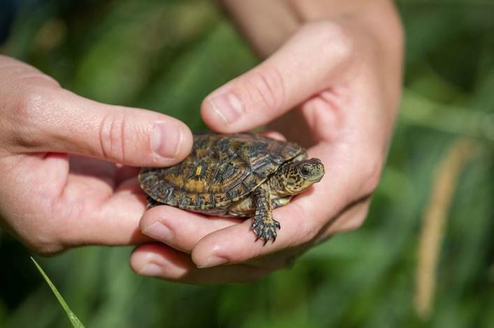 Partnering for Pond Turtles