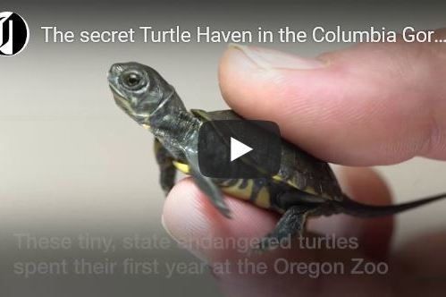 VIDEO: Inside the Preserve That's Bringing Baby Turtles Back to the Gorge