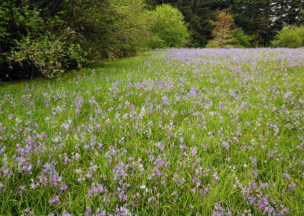 Camas Lily Fields at Round Lake and Lacamas Falls, WA