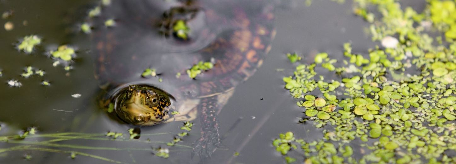 Small Step for Friends, Big Step for Pond Turtles