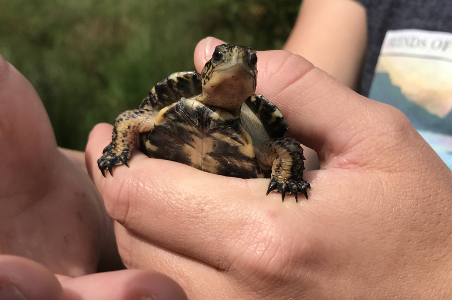 C-W Post-Record: Turtle Release Gives Threatened Species a Head Start