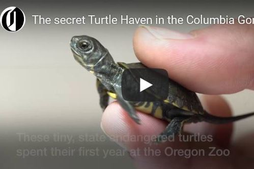 The Oregonian: Inside the Preserve That's Bringing Baby Turtles Back to the Gorge