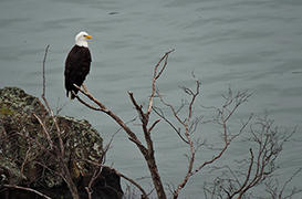 Bald Eagle Viewing + Lunch and Drinks