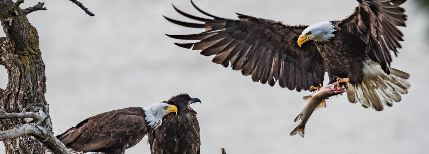 Winter Bald Eagle Viewing - Sign Ups