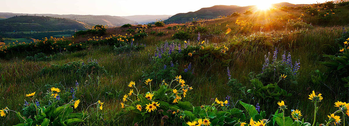 Wildflower Photography at Rowena Plateau & McCall Point, OR