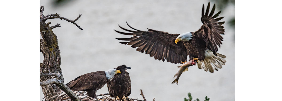 Bald Eagle Viewing and Lunch & Beverages