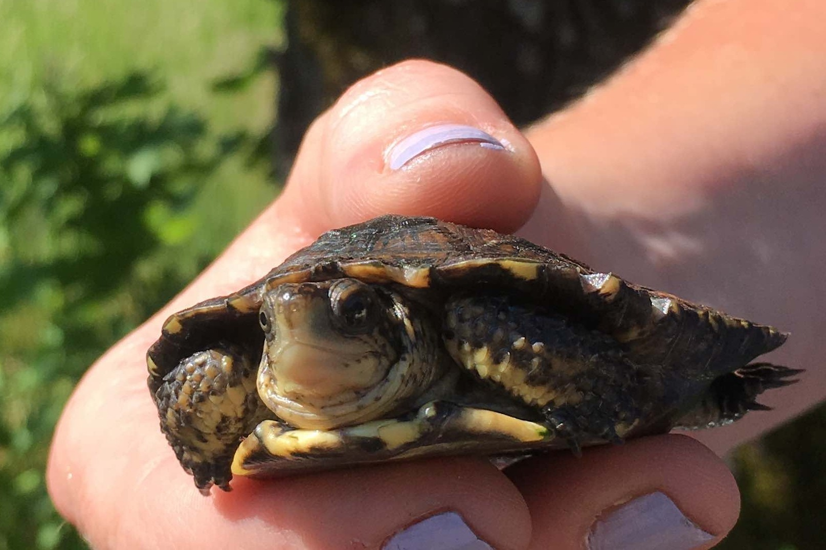 Collaboration Provides Sanctuary for Endangered Gorge Turtles