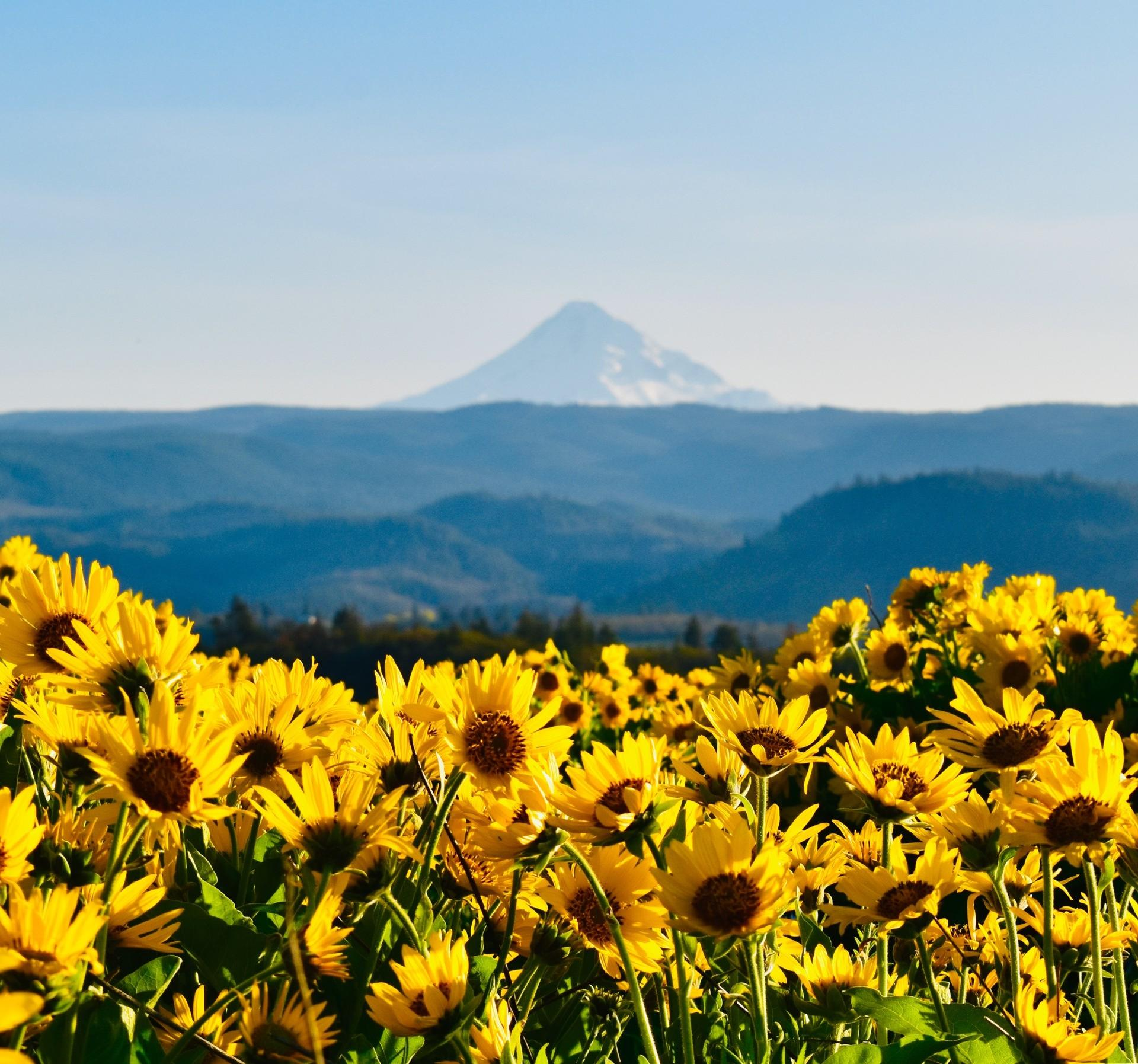 Chatfield Hill, Balsamroot flowers in full bloom: Robert Meyers