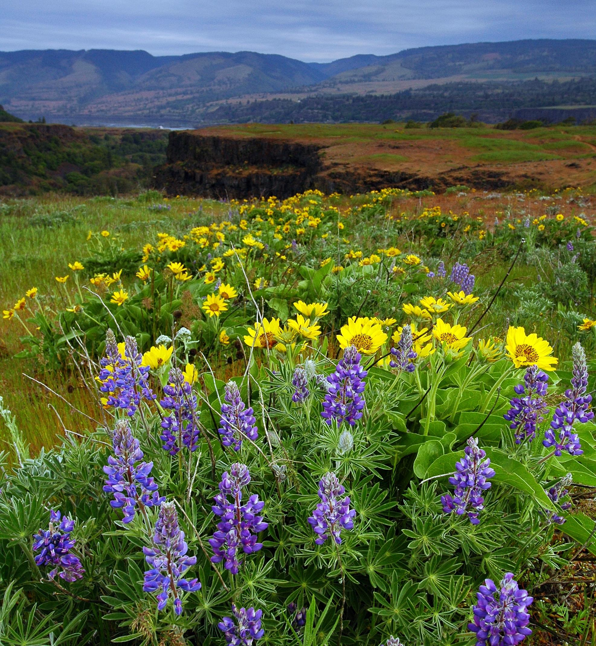 balsamroot and lupine Kevin Gorman
